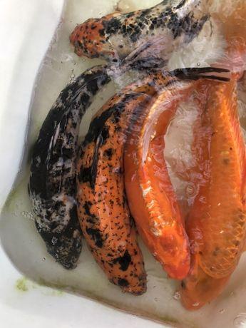 Karp KOI duże karpie karaś orfa zloty lin amur tołpyga jesiotr jaź