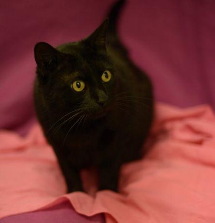 Piękna czarna Ramona - kotka do adopcji