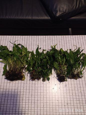 Mikrosorium rośliny do akwarium.