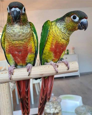 Попугай пиррура малыши выкормыши (с доставкой)перрура