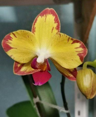 Орхидея фаленопсис phal. сортовая попугай