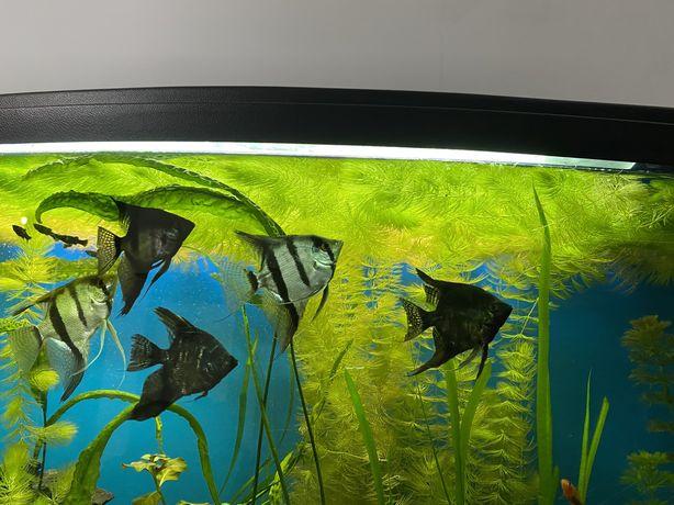 Roslinka do akwarium Rogatek cala reklamówka