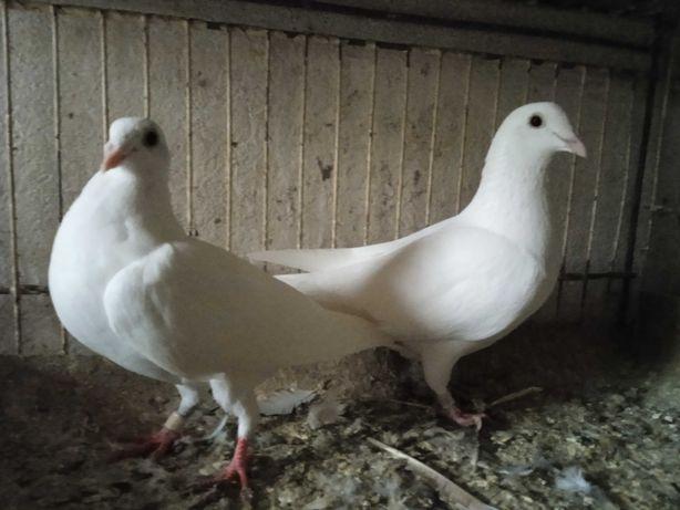 Gołębie pocztowe 2 białe samice