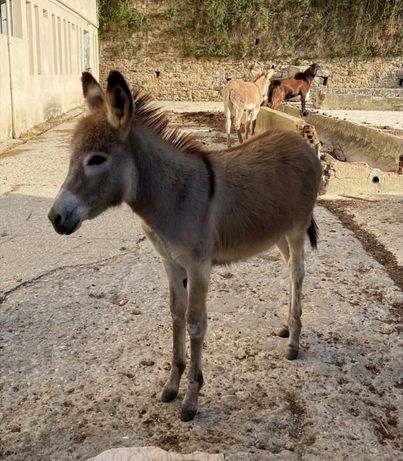 Vendo burro raça graciosa 5 meses