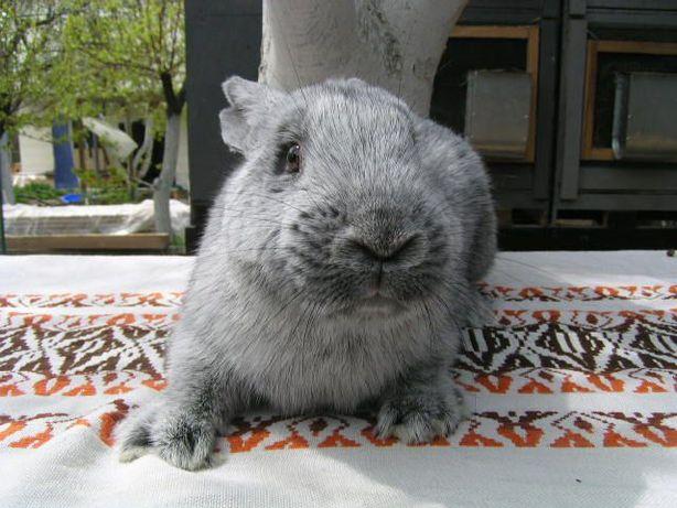 Кролик породы Европейское серебро (БСС) самец