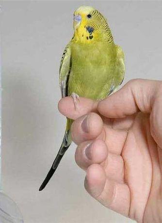 Papugi faliste oswojone i ręcznie karmione,młode,własna hodowla.