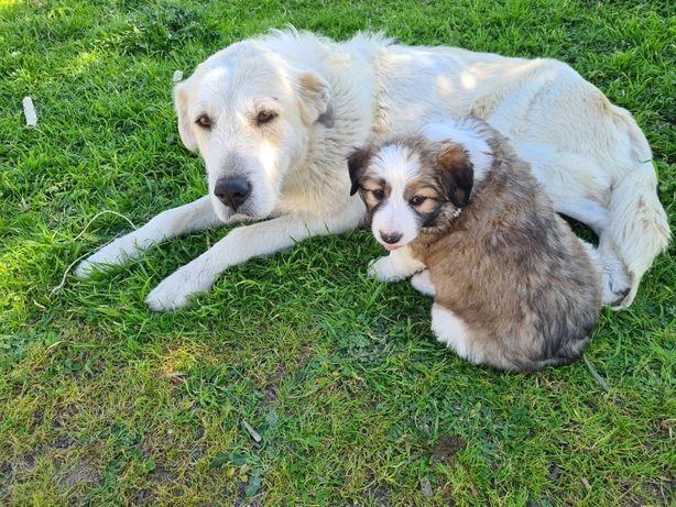 Doação de Cachorros filhos de mãe Rafeiro Alentejano