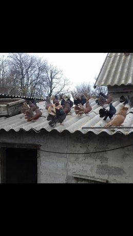 Продам голубів Павліни