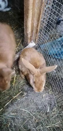 Sprzedam 4 młode króliki