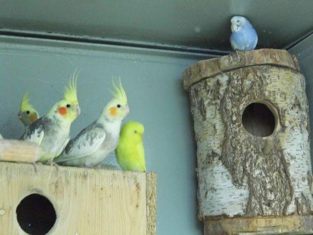 Papuga nimfa szeki