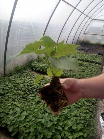 Сертифікована павловнія морозостійка Z07, саджанці, корені, насіння