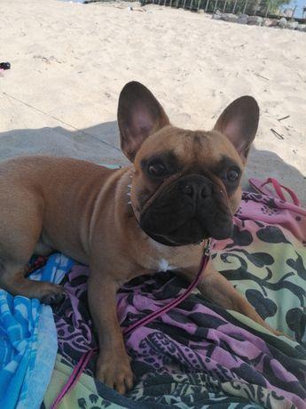 Bulldog francês puro 1 ano