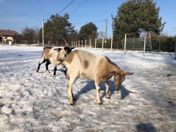 Kozy i czap , kozy zakocone razem i pojedynczo