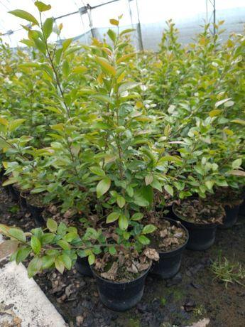 Irga, Irga błyszcząca, Cotoneaster lucidus