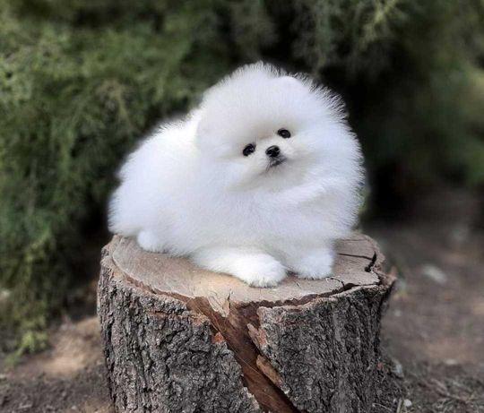 Szpic Pomeranian