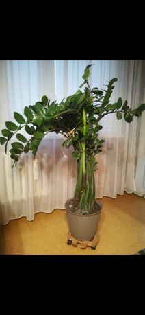kwiat doniczkowy zamiokulkas