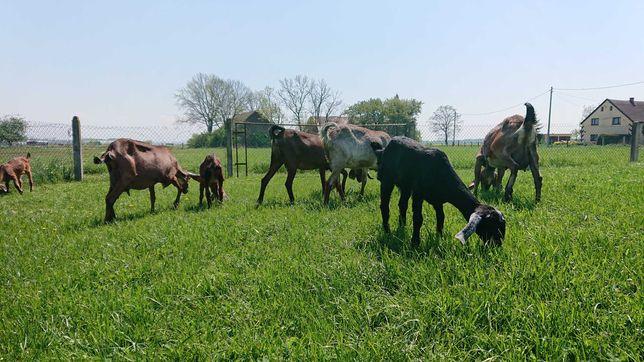 Sprzedam kozy anglonubijskie