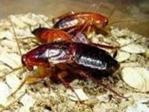 Туркменский таракан. Живой корм. 300шт.