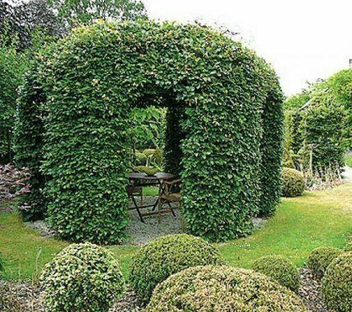 Хмель Дикий виноград Кампсис многолетняя лиана-живой забор изгородь