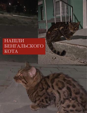 Найден бенгальский кот потерян