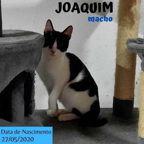 Gato Para Adoção (Joaquim)