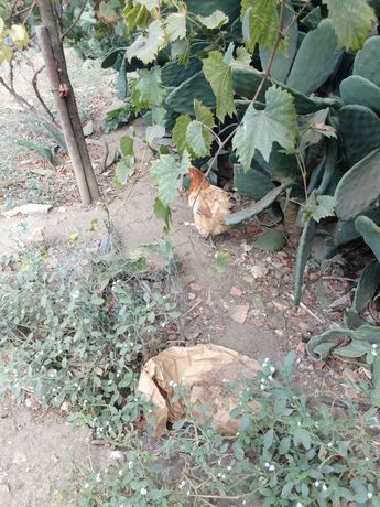 Vendo galinhas biológicas poedeiras