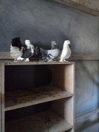 Gołębie pawiki indyjskie