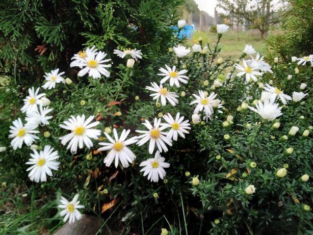Kwitnący żywopłot
