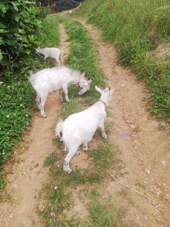 Vendemos 3 Cabras Anãs