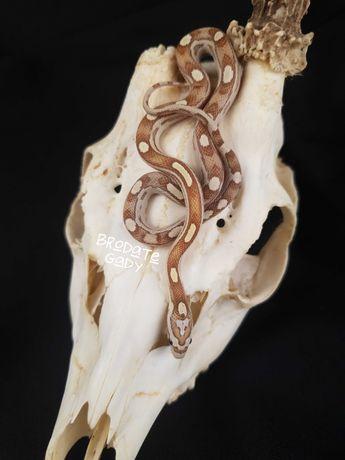 Wąż zbożowy Gold Dust Motley samica 18.