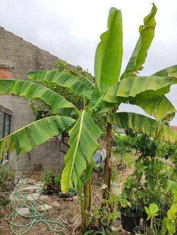 Bananeiras, cana de açúcar e pitangueiras