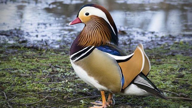 Casal de patos mandarim