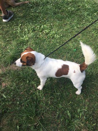 Jack Russell Terrier - Reproduktor ;)