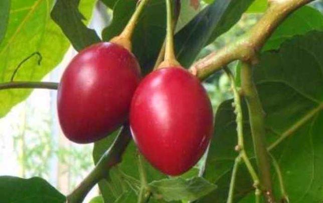 Tamarilho Vermelho