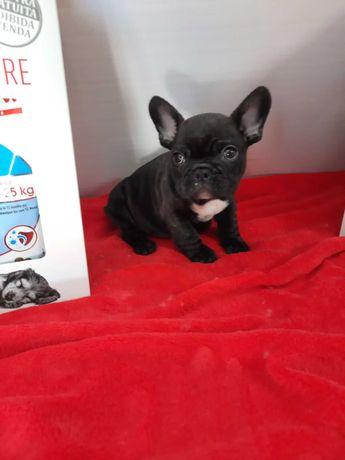 Bulldog Francês  criadora registada