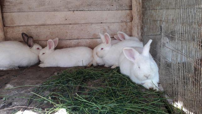 Продаж кролів
