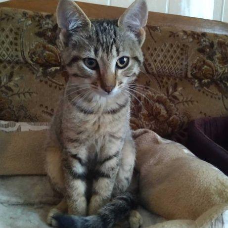 серый котенок 3 мес, кот, котенок, кошка, котята