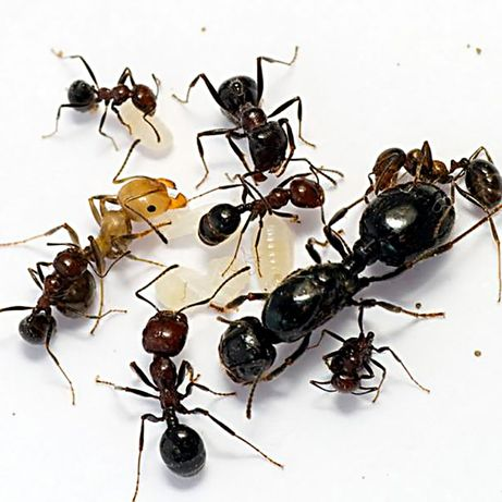 Муравьи Messor structor. ОПТ (мессор структор, муравей жнец)