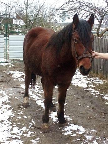 Продам великого молодого коня.