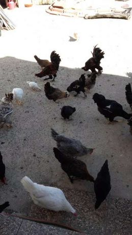 Vende-se casais de galinhas Pavloskaya puras,barbue duccle milflores,