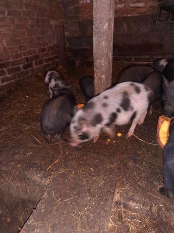 Вєтнамські свині