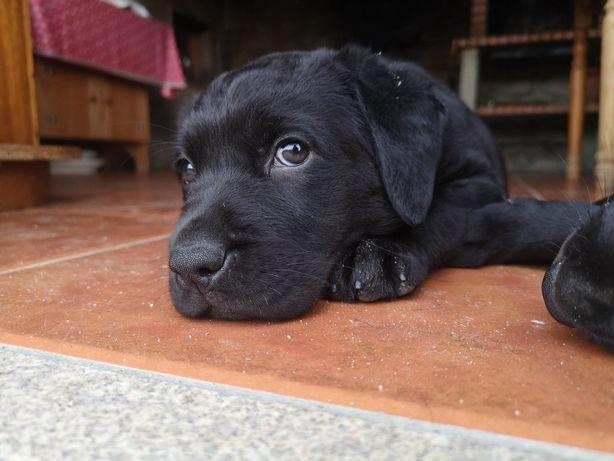 Cachorra Labrador Retriever Pura com LOP