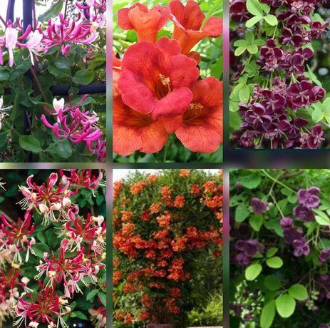 Жимолость, акебия, клематис, розы, ирисы, лилии, лилейники