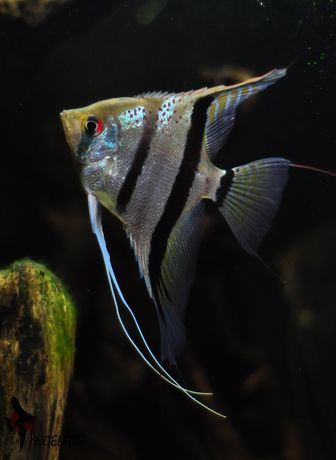 Pterophyllum scalare Red Spot Surinam F1 - skalary
