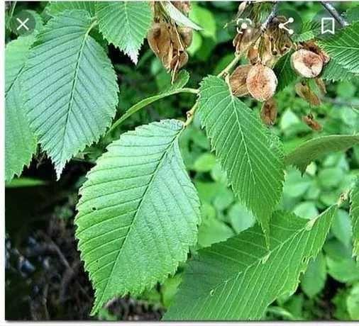 Семена для посадки живой изгороди. 1000 штук. Дерево вяз  ильм, берест