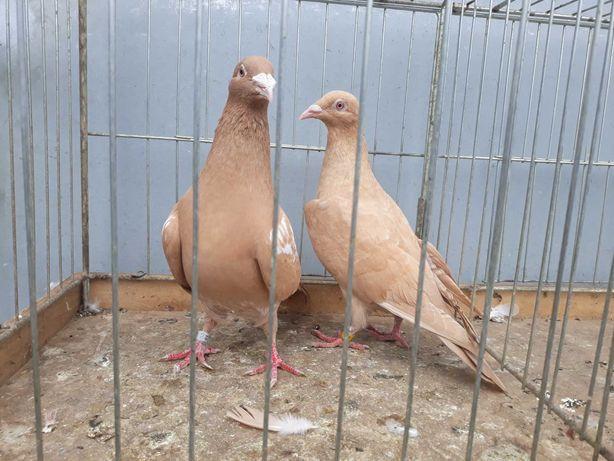 Mulemans mulemansy para mulemansów żółtych gołąb gołębie