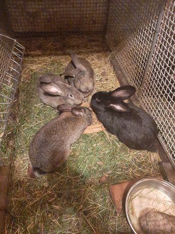 Sprzedam króliki hodowlane!