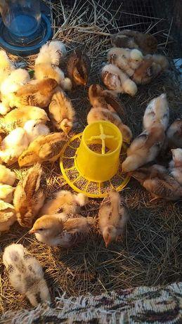 Продам курчат лівенської сітцевої породи