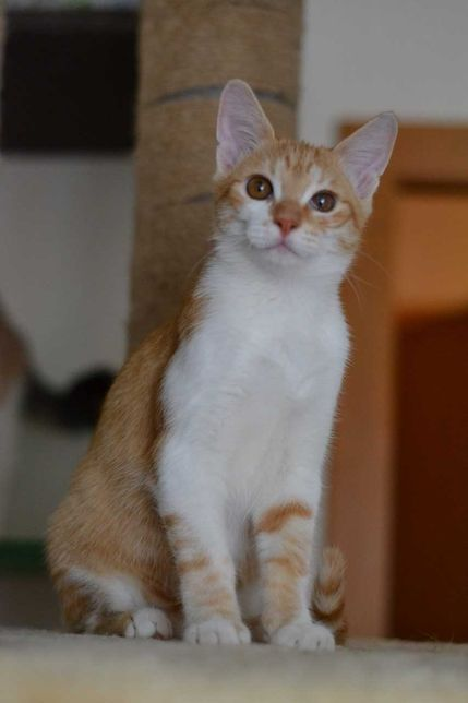 кругломордий рудо-білий котичок 5м