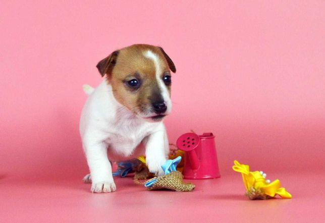 Представляем Вашему вниманию прекрасного щенка джек рассела